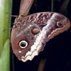 https://www.flickr.com/photos/swallowtailgardenseeds/15702491308/